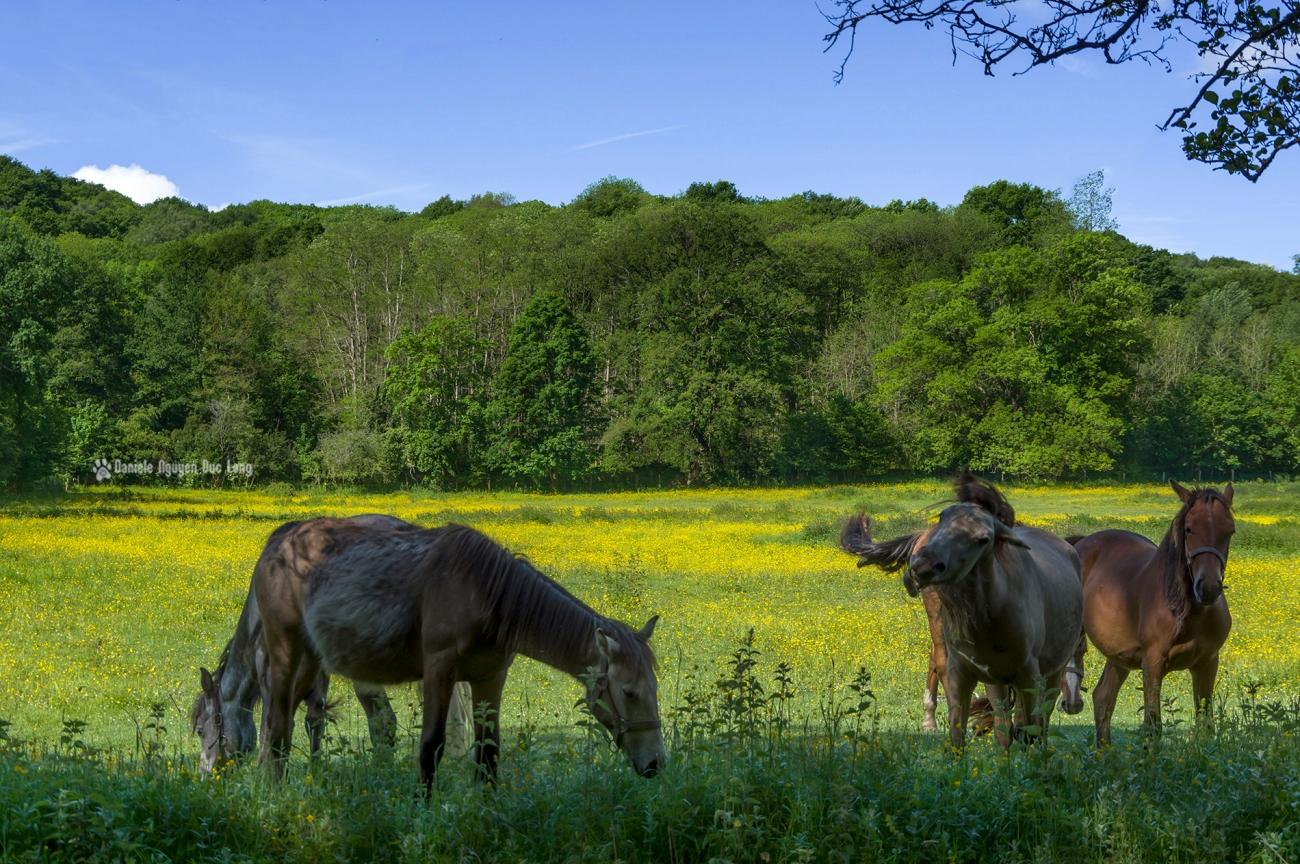chevaux vallée de Chevreuse, le long de la Mérantaise