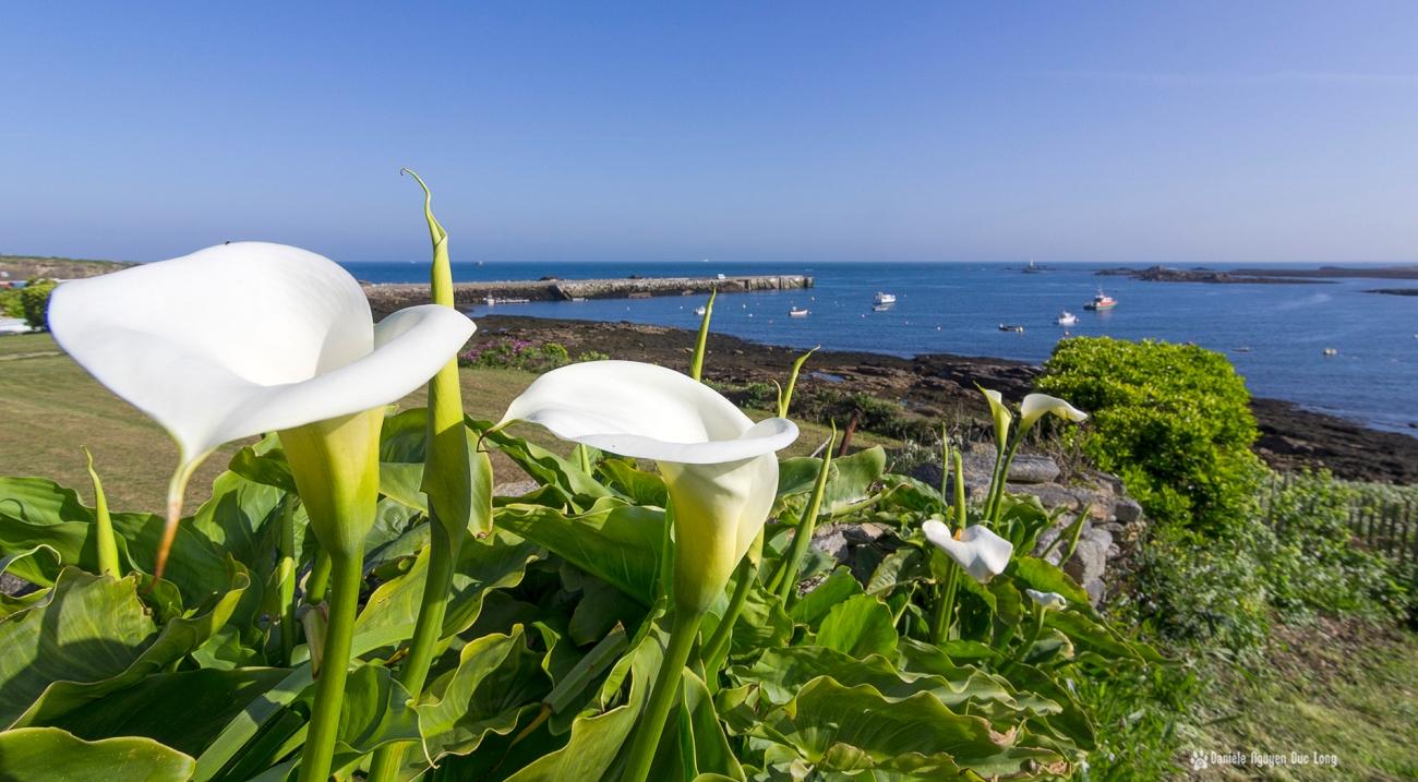 le long de la côte sur l'île Molène, fleurs arome