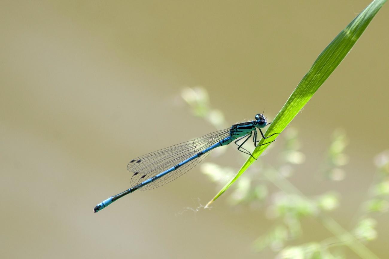 Pennipatte bleuâtre, libellule, insecte