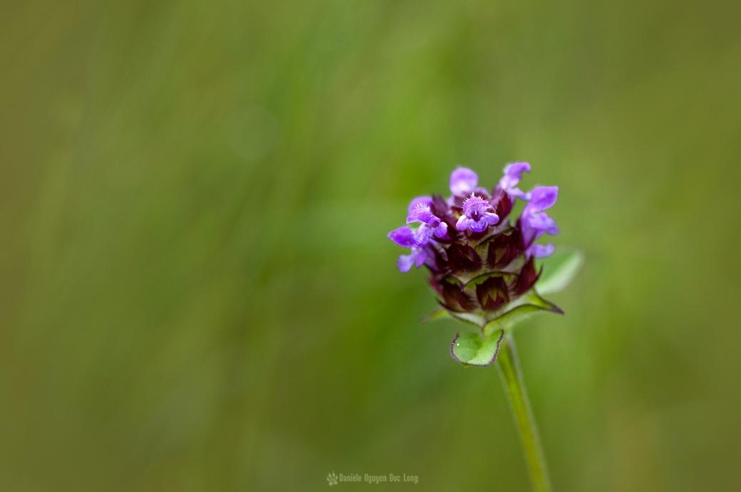 orchidée sauvage marais du Curnic Guissény