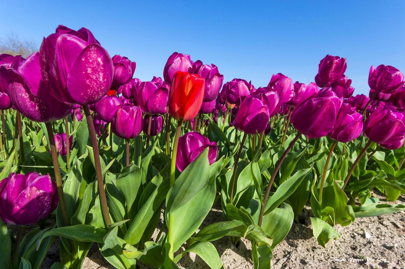 champs de tulipes à la Torche - Plomeur - Finistère - Bretagne