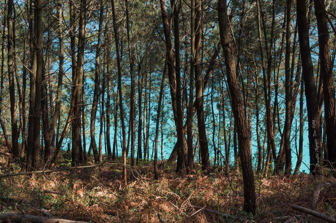 presqu'île de Crozon entre fort Kador et St-Hernot, Bretagne, Finistère, la mer à travers les pins