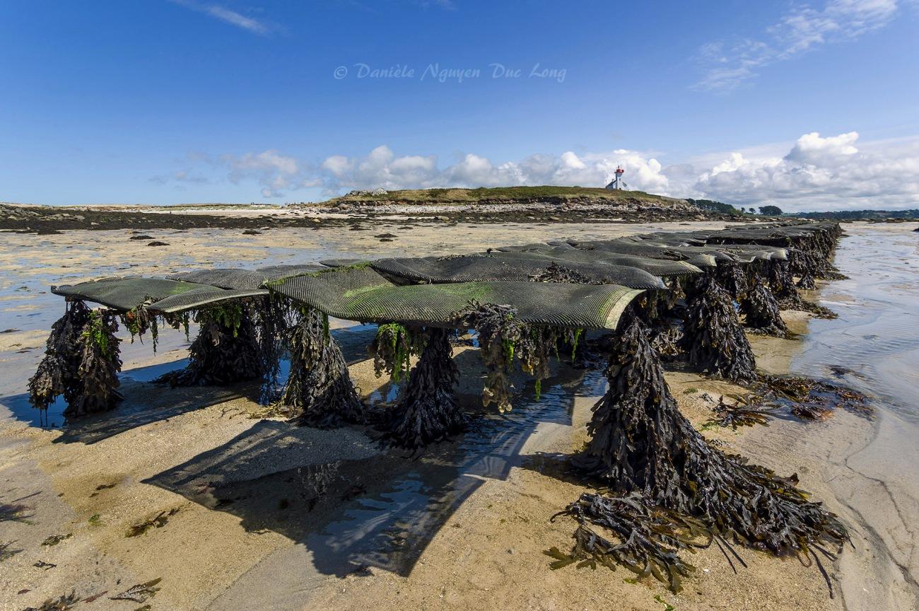 parc à huîtres de chez Legris,et phare de l'île Wrac'h