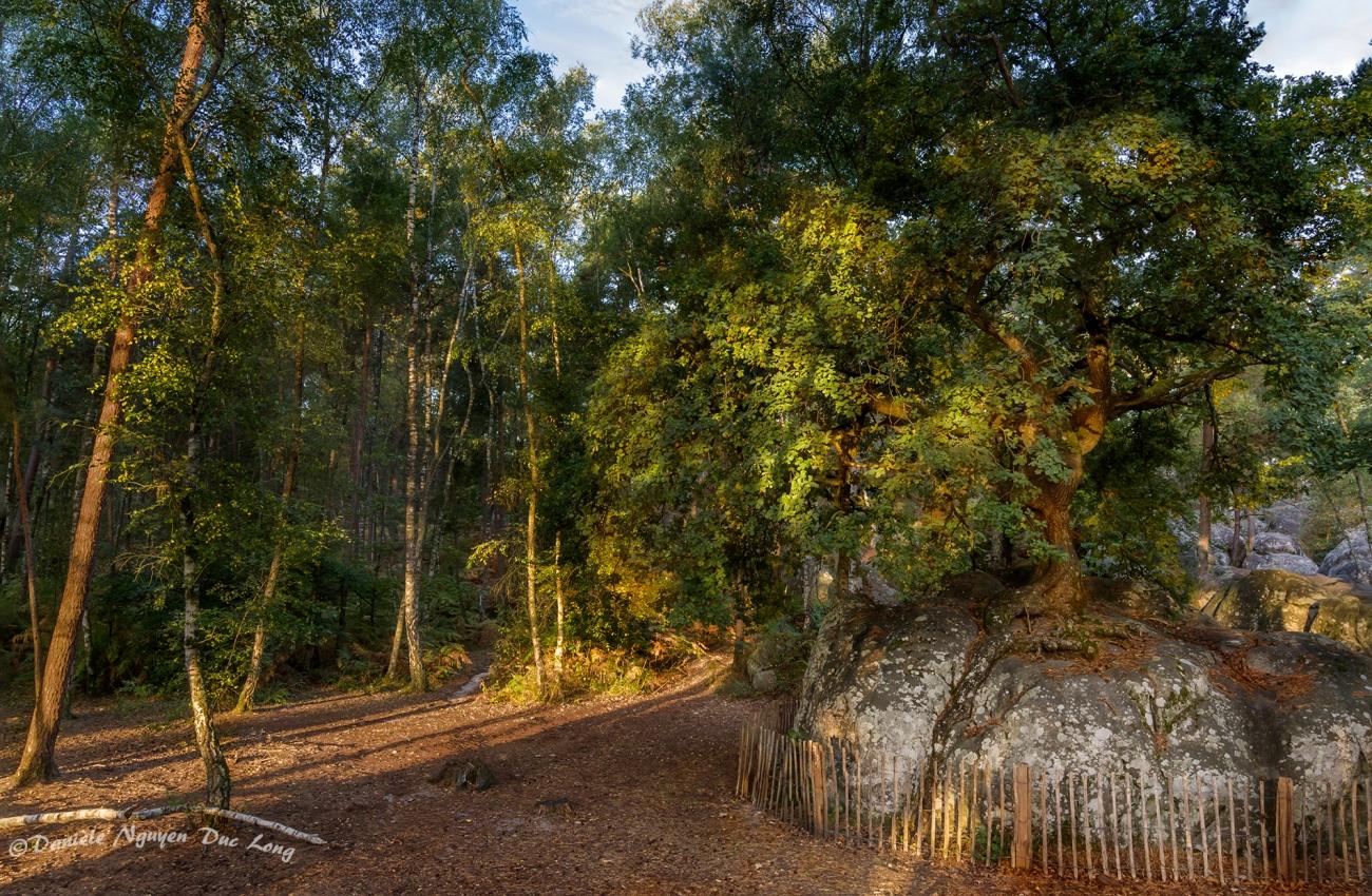 Chêne Bonzaï du Rocher Canon, forêt de Fontainebleau,