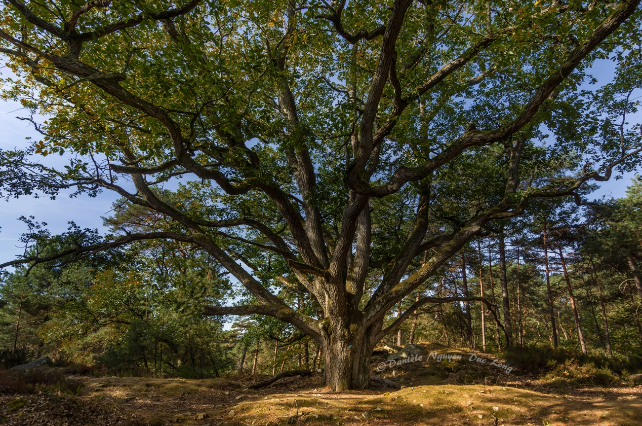 bouquet de la Reine Marie-Amélie, chêne, forêt de Fontainebleau
