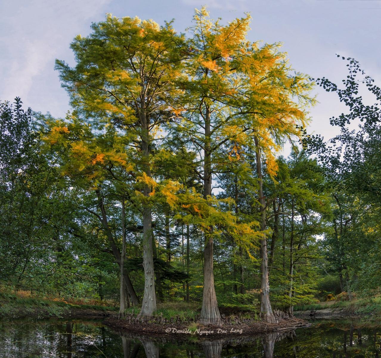 mare aux Cerfs, forêt de Fontainebleau, cyprès chauves